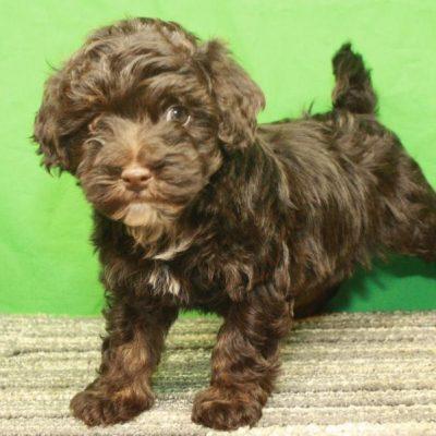 HavaPoo - Havapoo puppy for sale in Shawnee, Oklahoma