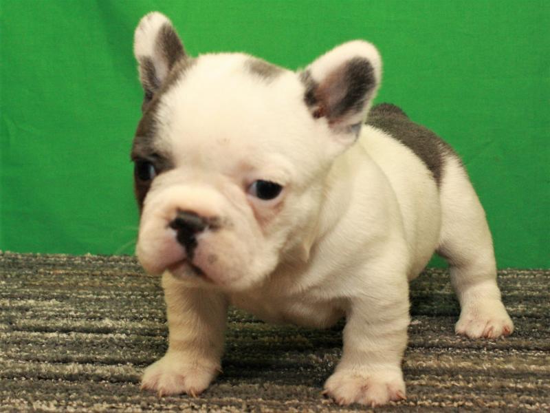 French Bulldog puppy for sale near Shawnee, Oklahoma