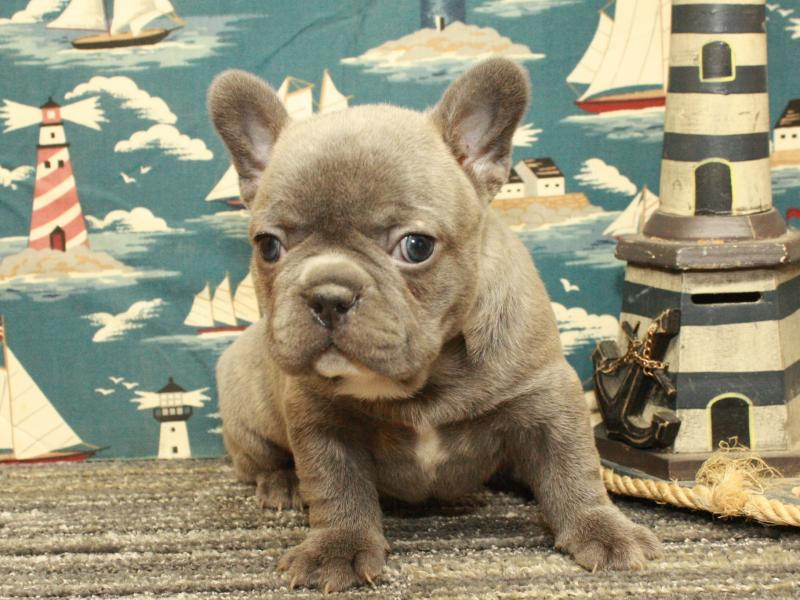 French Bulldog pupper for sale at Shawnee, Oklahoma