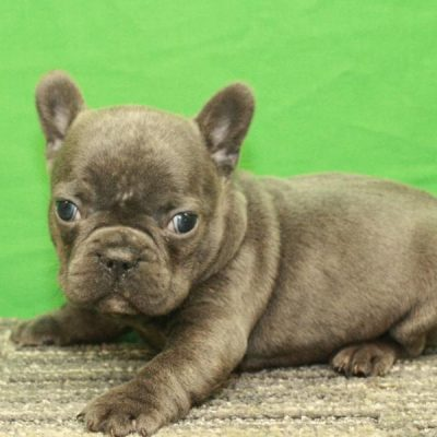 French Bulldog pup for sale in Shawnee, Oklahoma