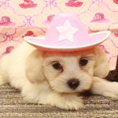Malshi Puppy (Shih Tzu x Maltese)
