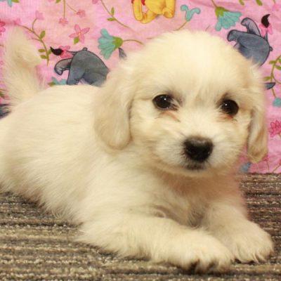 Malshi (Shih Tzu & Maltese) pup for sale near Shawnee, Oklahoma