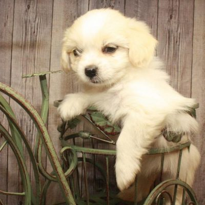 Malshi (Shih Tzu & Maltese) puppie for sale at Shawnee, Oklahoma