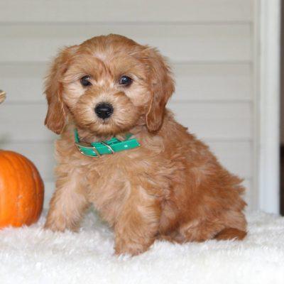 Abby - F1b Mini Goldendoodle doggie for sale in Parkesburg, Pennsylvania