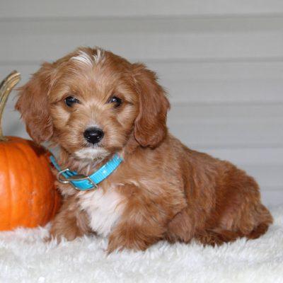 Adalee - F1b Mini Goldendoodle puppie for sale near Parkesburg, Pennsylvania