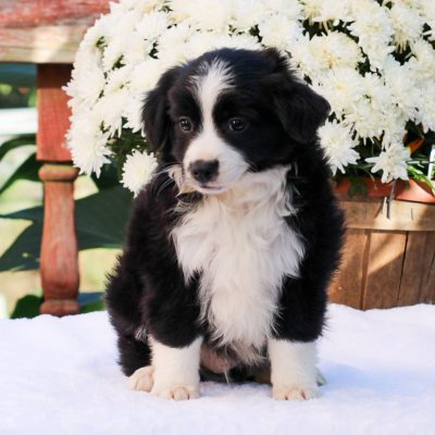 Al- Mini Australian Shepherd puppie for sale at Strasburg, Pennsylvania