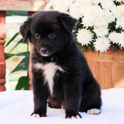 Alex- Mini Australian Shepherd doggie for sale near Strasburg, Pennsylvania