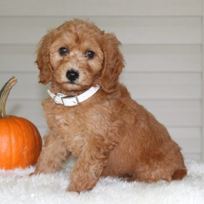 Alexa - female F1b Mini Goldendoodle puppy for sale at Parkesburg, Pennsylvania
