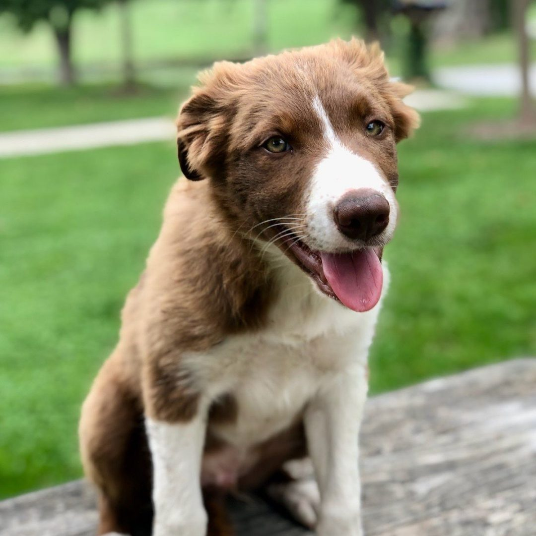 Aflie - Border Collie doggie for sale in Kinzers, Pennsylvania
