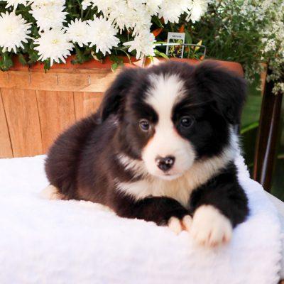 Allen - Mini Australian Shepherd pupper for sale in Strasburg, Pennsylvania