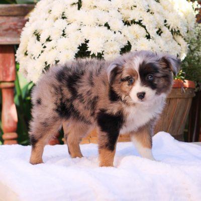 Anita - Mini Australian Shepherd puppy for sale at Strasburg, Pennsylvania