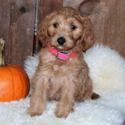 Annie - F1b Mini Goldendoodle pup for sale near Parkesburg, Pennsylvania