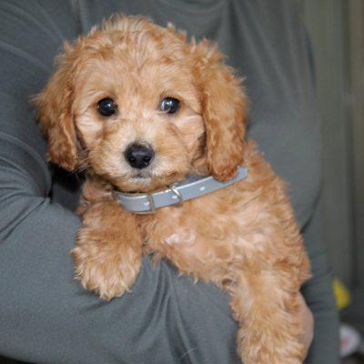 Archie - F1b Mini Goldendoodle pupper for sale at Parkesburg, Pennsylvania