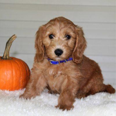 Arlo - puppy F1b Mini Goldendoodle for sale near Parkesburg, Pennsylvania