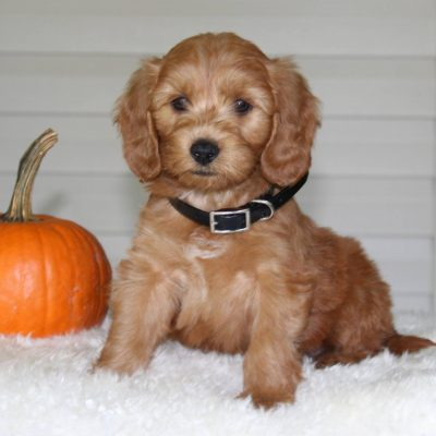 Asher - F1b Mini Goldendoodle pup for sale in Parkesburg, Pennsylvania