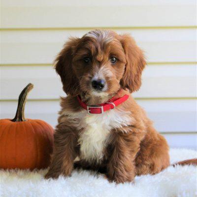 Atlas - F1b Mini Goldendoodle doggie for sale at Parkesburg, Pennsylvania