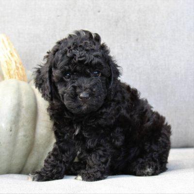 Bailey - F1bb Cavapoo pupper for sale in Gap, Pennsylvania