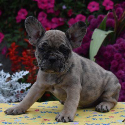 Barney - AKC French Bulldog puppy for sale in Aaronburg, Pennsylvania