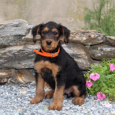 Beauty -AKC Airedale Terrier