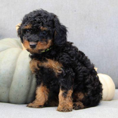 Bella - F1bb Cavapoo pup for sale in Gap, Pennsylvania