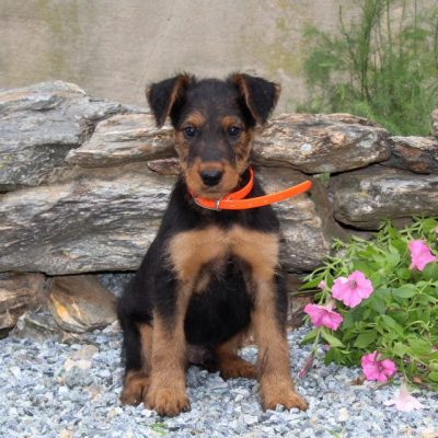 Benji -AKC Airedale Terrier