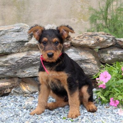Buster -AKC Airedale Terrier