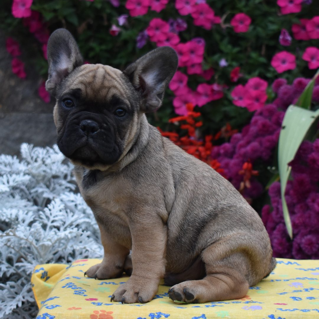 Buster - doggie AKC French Bulldog for sale near Aaronburg, Pennsylvania