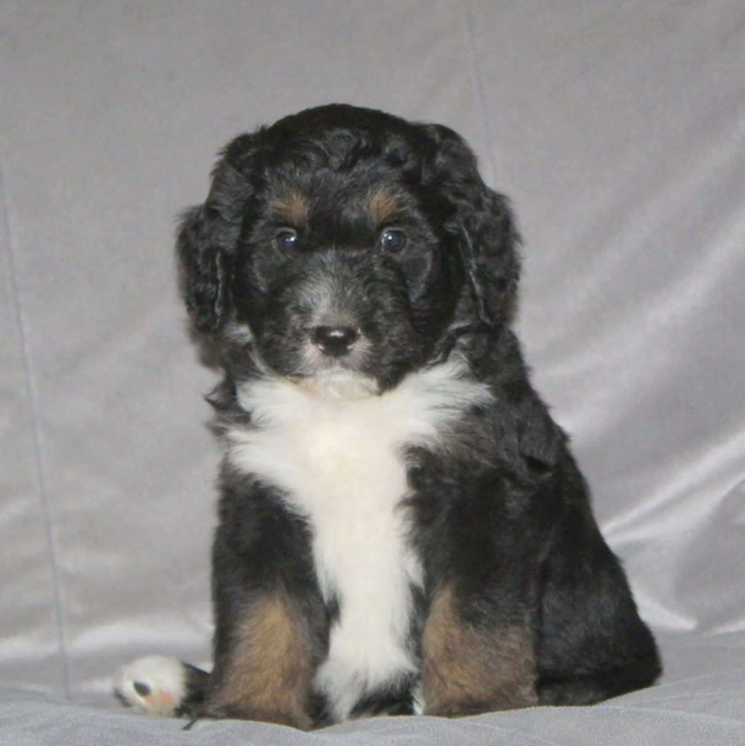 Candy - F1 Bernedoodle pup for sale in Nottingham, Pennsylvania