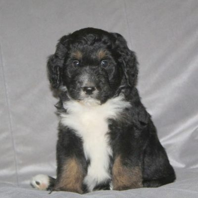 Carl - puppy F1 Bernedoodle for sale in Nottingham, Pennsylvania