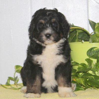 Charlie - F1 Bernedoodle doggie for sale at Nottingham, Pennsylvania
