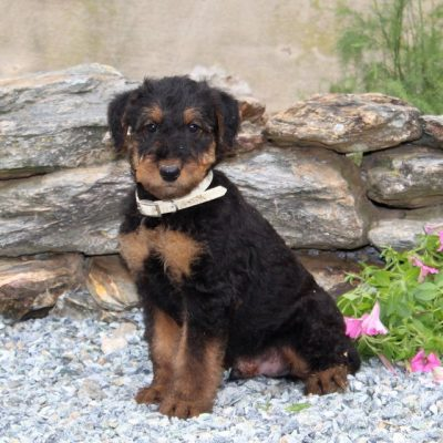 Charlie -AKC Airedale Terrier