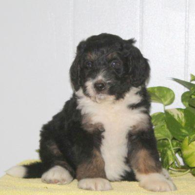 Chip - F1 Bernedoodle pup for sale near Nottingham, Pennsylvania