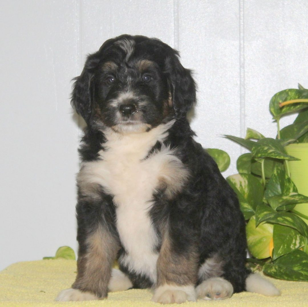Cleo- F1 Bernedoodle pupper for sale in Nottingham, Pennsylvania