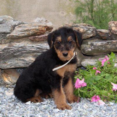Connie -AKC Airedale Terrier