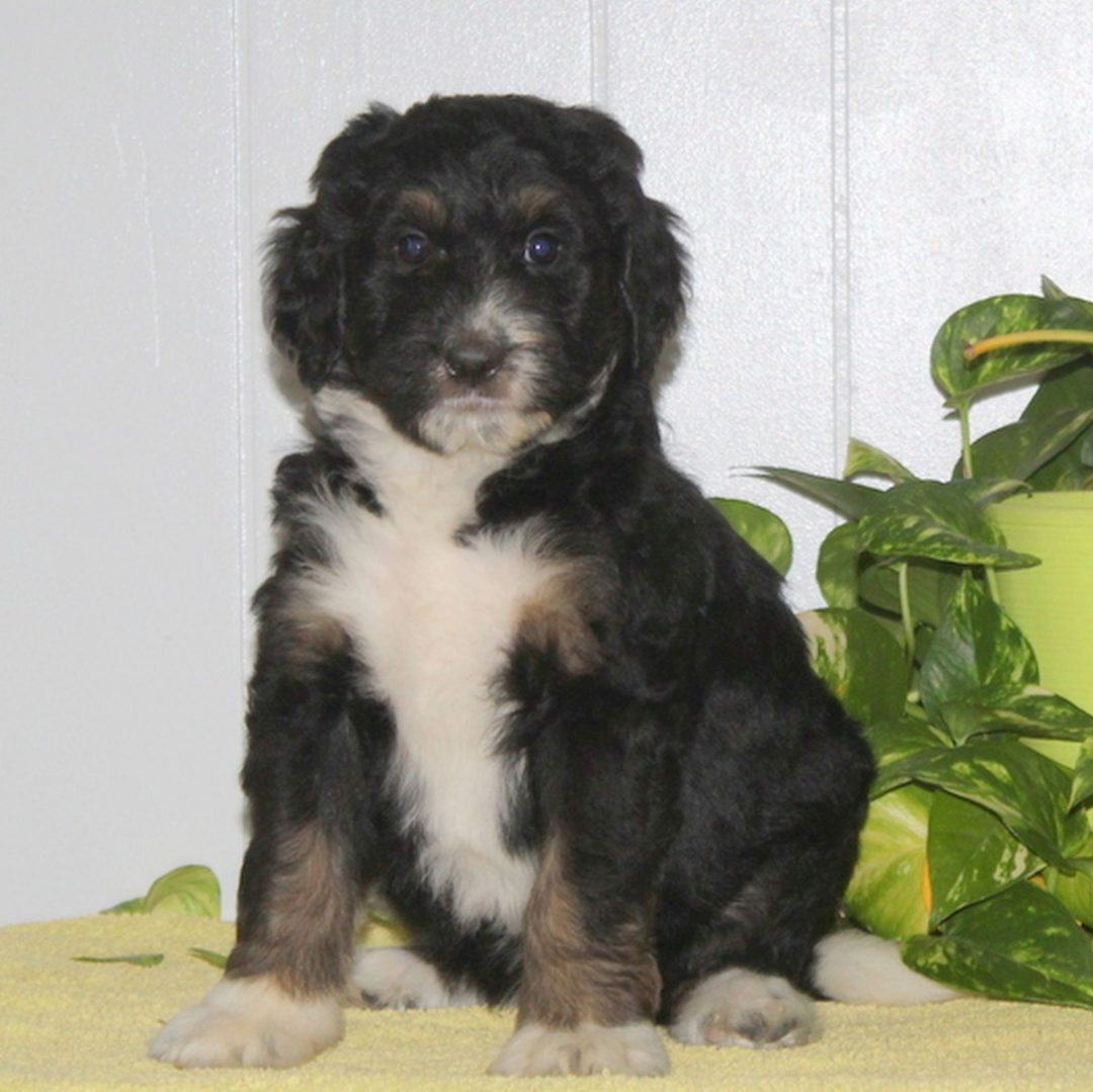 Connie - F1 Bernedoodle pupper for sale at Nottingham, Pennsylvania