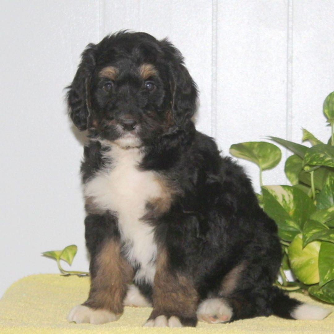 Cupcake - F1 Bernedoodle puppie for sale near Nottingham, Pennsylvania