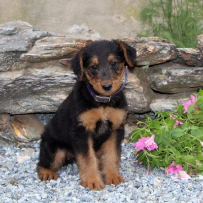 Cupcake -AKC Airedale Terrier