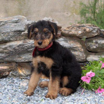 Cutie -AKC Airedale Terrier