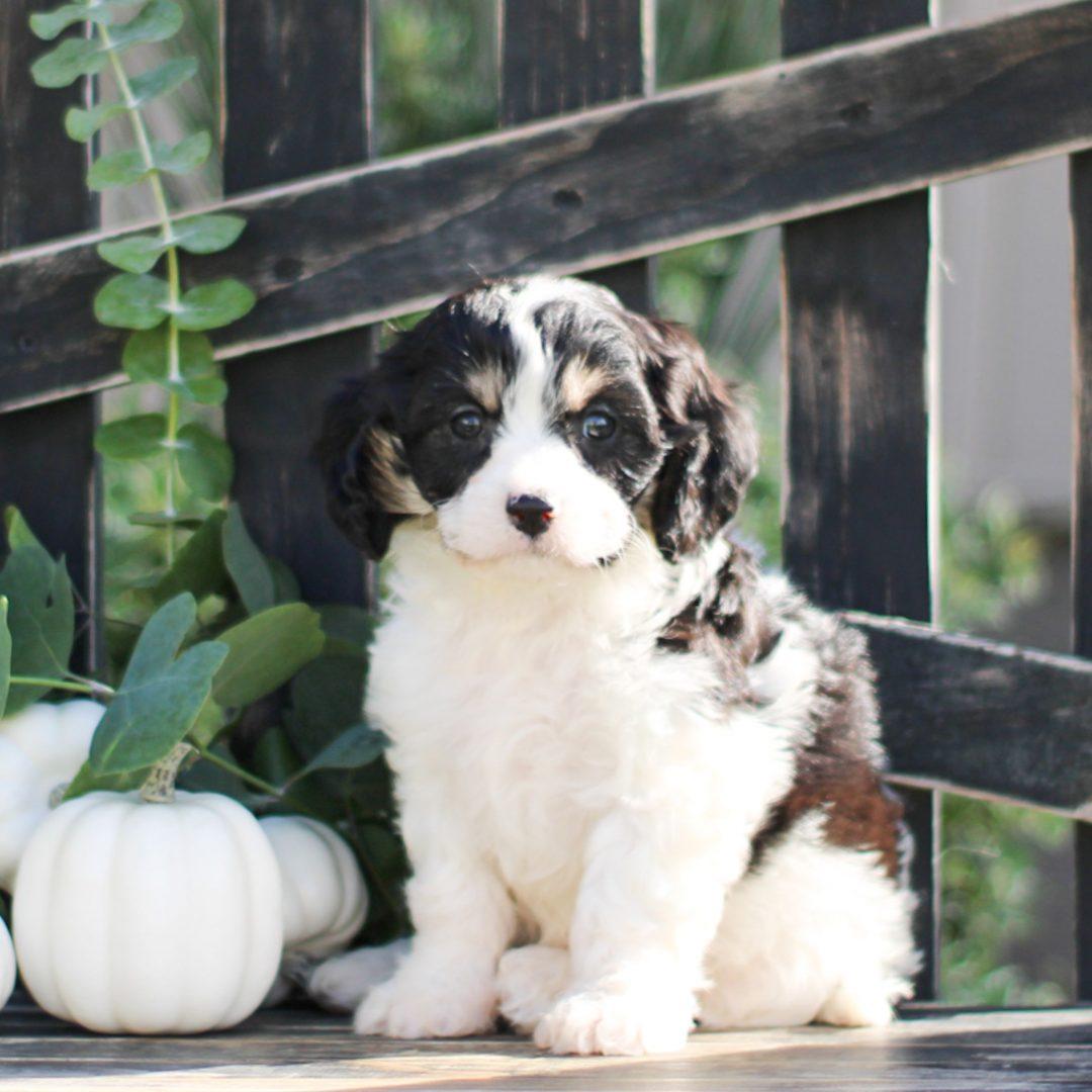 Daisy - F1 Cavachon pup for sale at Gordonville, Pennsylvania