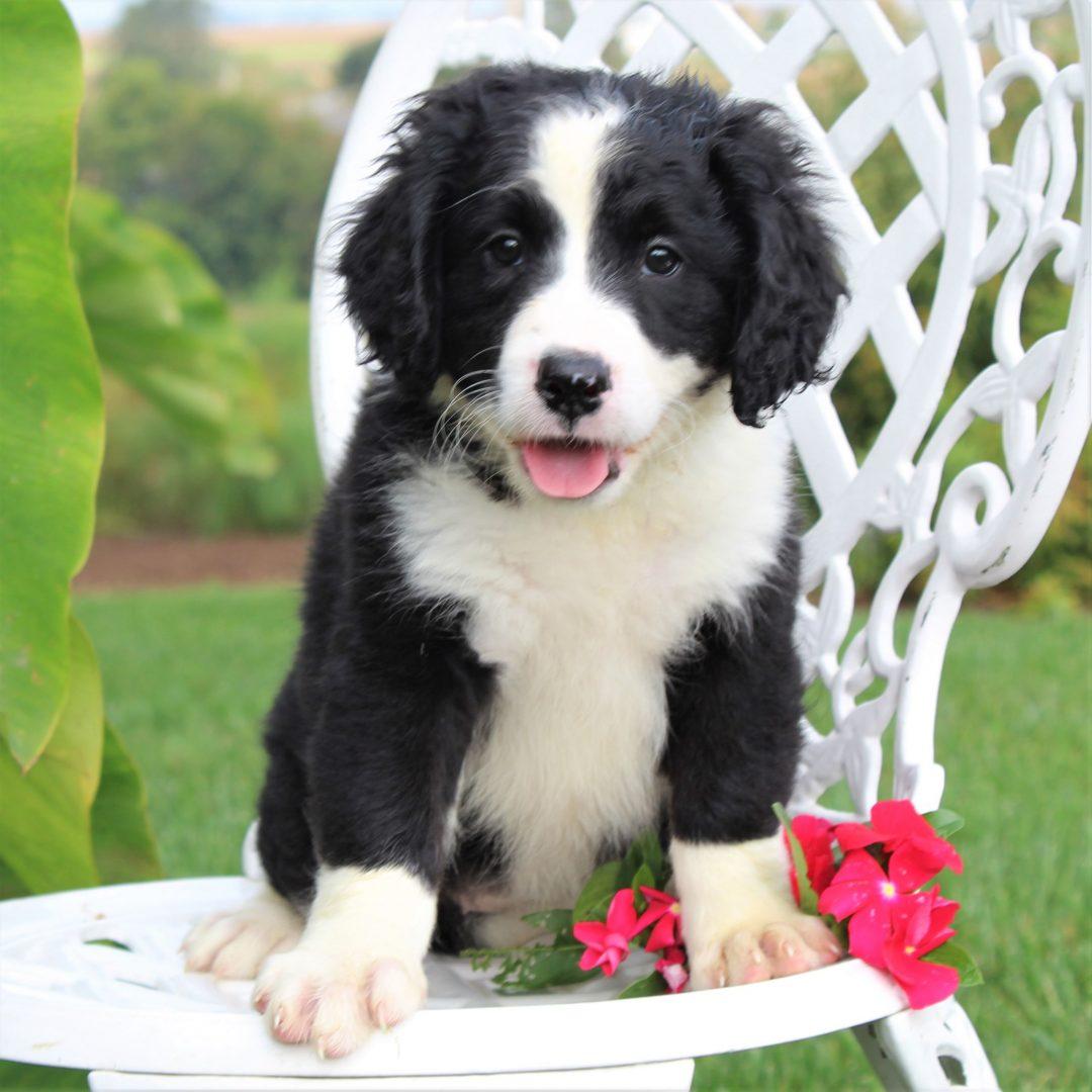 Dakota - F1 Mini Bernedoodle puppie for sale near Gordonville, Pennsylvania