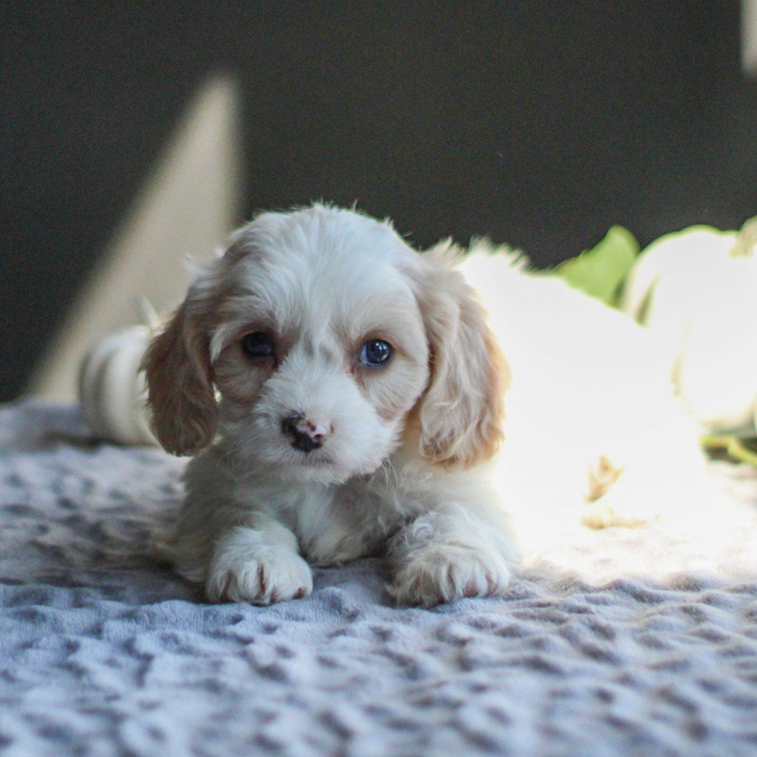 Dakota - F1 Cavachon pup for sale in Gordonville, Pennsylvania