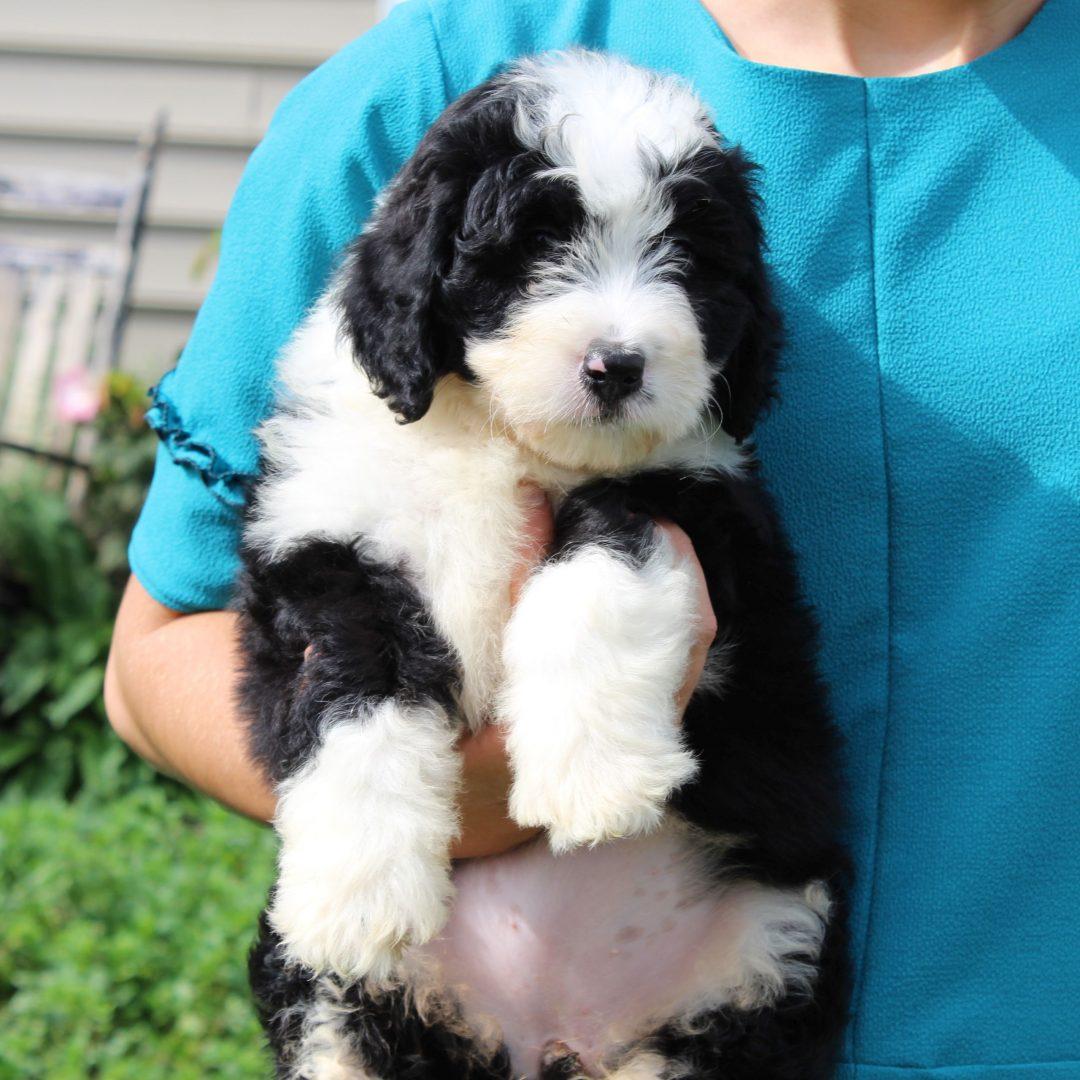 Danielle - F1 Mini Bernedoodle pup for sale near Gordonville, Pennsylvania