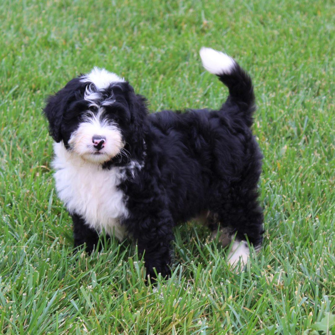 Danny - F1 Mini Bernedoodle pupper for sale in Gordonville, Pennsylvania