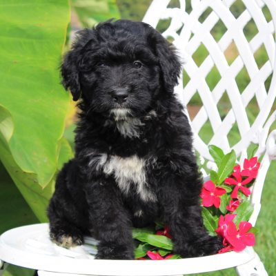 Deborah- F1 Mini Bernedoodle puppy for sale at Gordonville, Pennsylvania