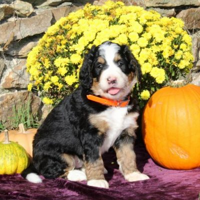 Delight - F1 Standard Bernedoodle doggie for sale at Columbia, Pennsylvania