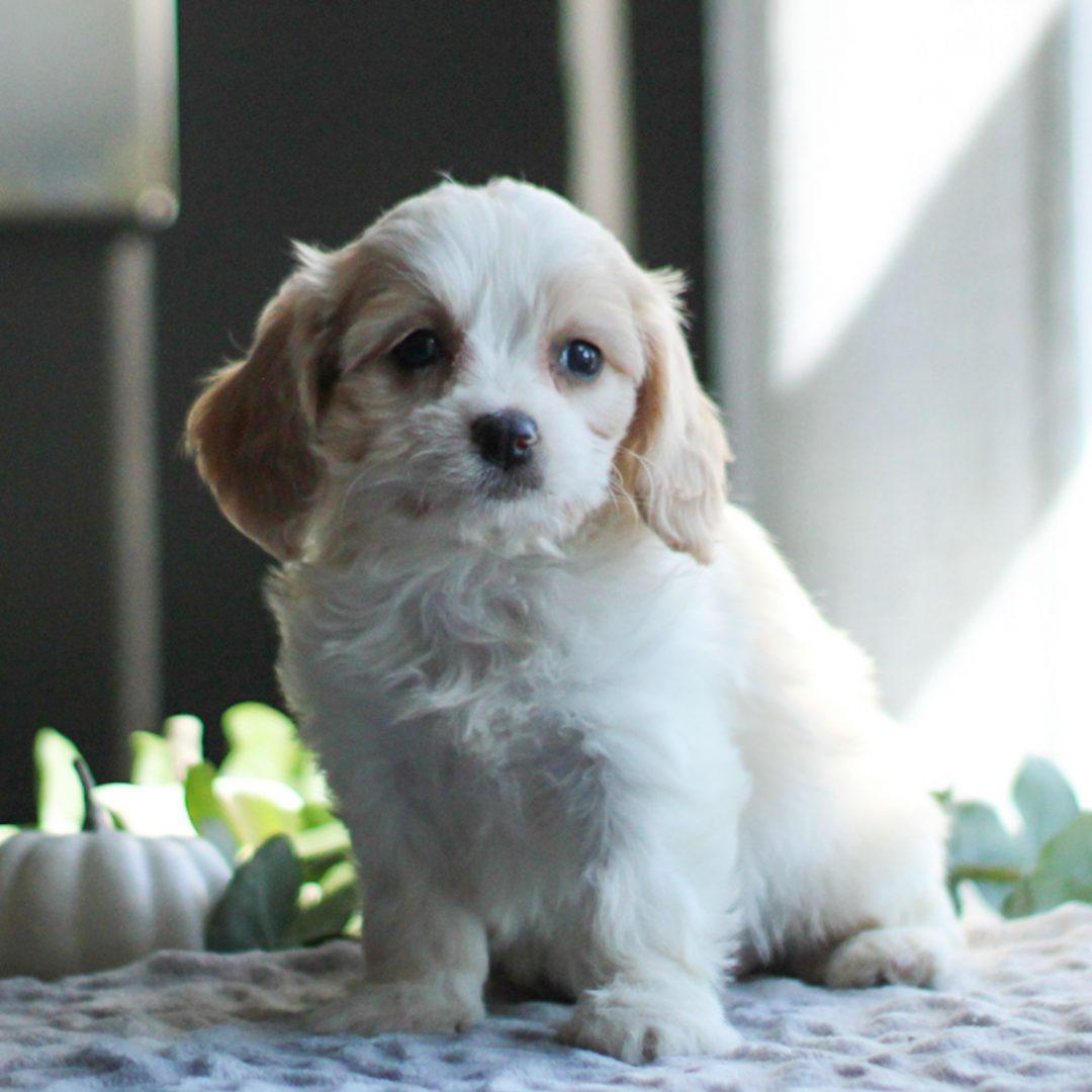 Demi- F1 Cavachon doggie for sale at Gordonville, Pennsylvania