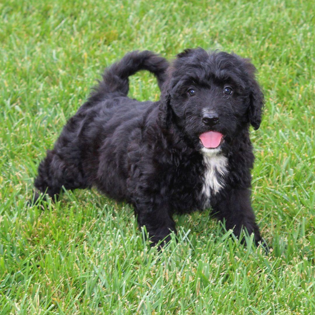 Diana- female F1 Mini Bernedoodle doggie for sale in Gordonville, Pennsylvania