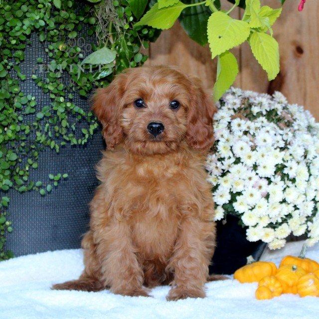 Dillon- male f1 Cavapoo puppie for sale at Quarryville, Pennsylvania