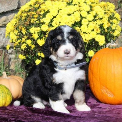 Dolly - F1 Standard Bernedoodle puppy for sale near Columbia, Pennsylvania