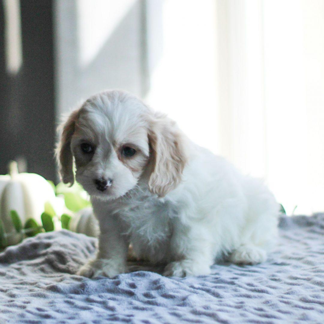 Dora - F1 Cavachon puppie for sale in Gordonville, Pennsylvania